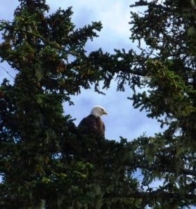 Eagle at Tram